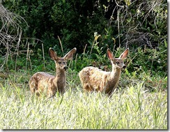 twin fawns (2)