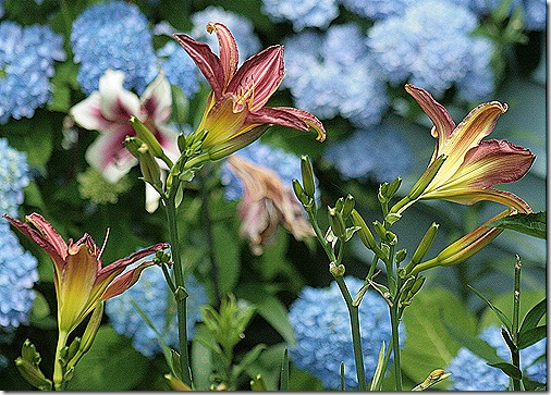 Lily_Prairie_Blue_Eyes2_June10