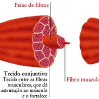 fibra muscular.jpg