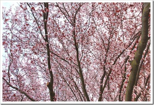 130303_Prunus-cerasifera-Krauter-Vesuvius_06