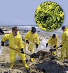 Clean-up crews use the Pseudomonas putida bacteria (inset) to decontaminate soil polluted by oil spills