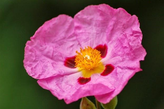 cistaceae.jpg