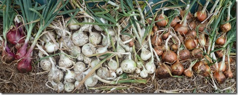 White and brown onions are laid out to dry on the mulched surface of the garden before storing them. Red onions are picked as needed for salads, as they won't 'keep'