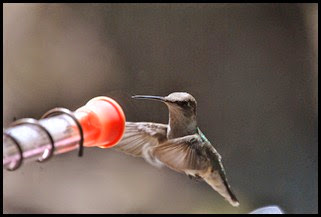 4 - Hummingbird