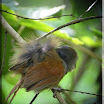 Chestnut-Winged Babbler_02.jpg
