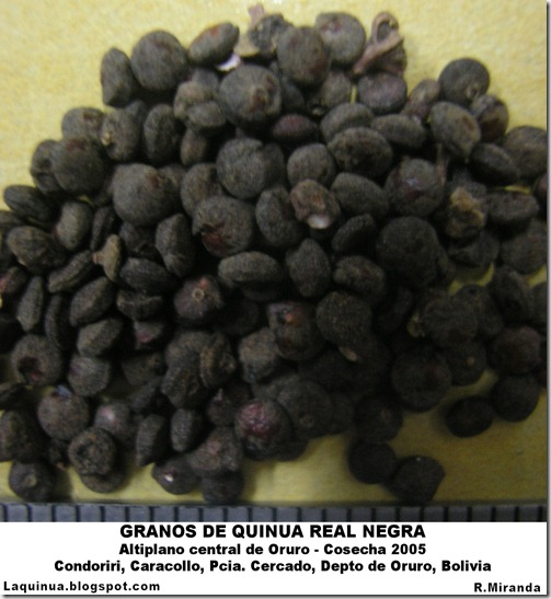 Granos de Quinua Real Negra-Altiplano central de Oruro, Bolivia-Rubén Miranda-Laquinua.blogspot.com