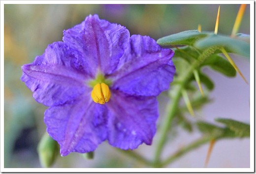 120630_Solanum-pyracanthum_20