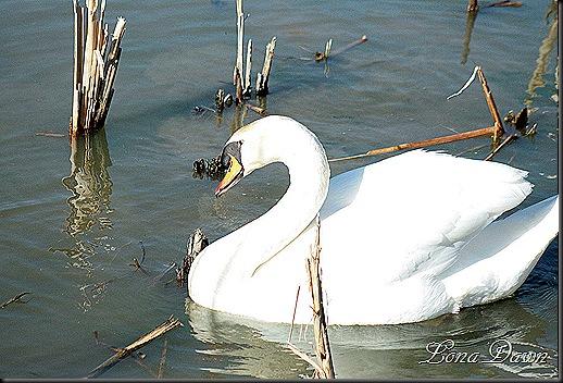 LL_Swan4_2012