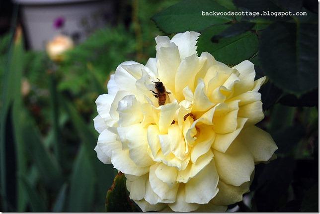 yellowrose.