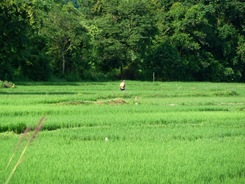 Farmer spraying pesticides on rice