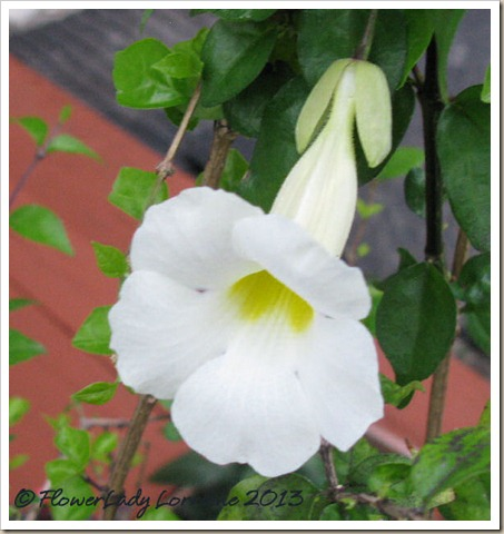 01-20-thunbergia-erecta