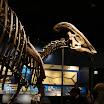 Parasaurolophus cyrtocristatus at the Field Museum