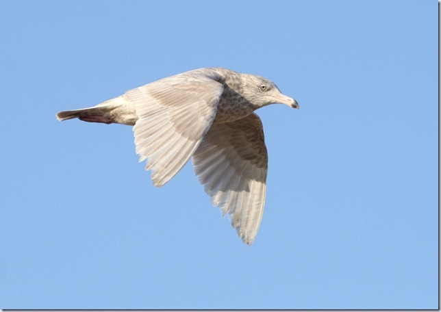 glauc
