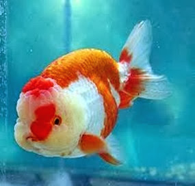 Amazing Pictures of Animals, Photo, Nature, Incredibel, Funny, Zoo, Ranchu, Goldfish, Alex (17)