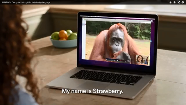 Screenshot of the video 'Orangutan asks girl for help in sign language'. Photo: RAN