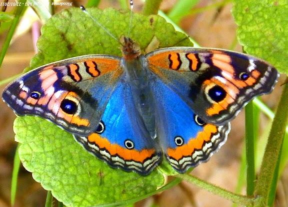 Junonia evarete evarete (CRAMER, 1779). Pitangui (MG, Brésil), 22 janvier 2011. Photo : Nicodemos Rosa