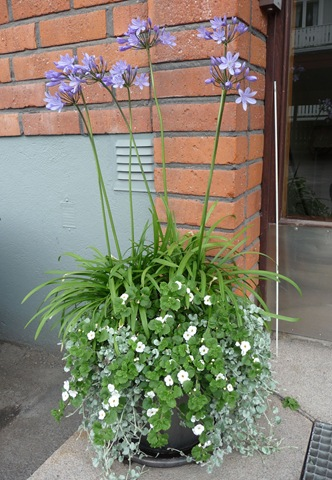 Agapanthus praecox, afrikas blå lilja, Dichondra argentea, silvernjurvinda, Sutera cordata, snöflinga Daniel Grankvist