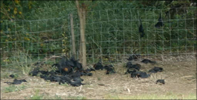 Dead bats in Queensland, Australia, 8 January 2014. About 100,000 bats may have died as a result of last weekend's heatwave in southern Queensland, the RSPCA says. Photo: ABC