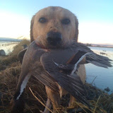 moose pintail.jpg