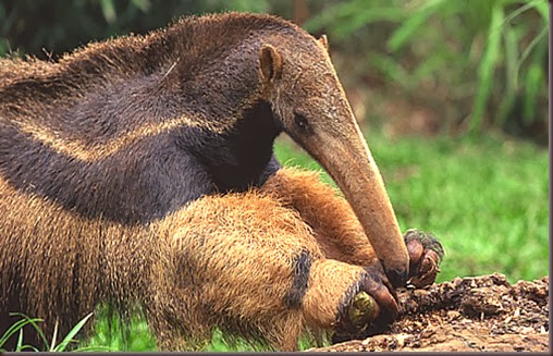 Amazing Animals Pictures Anteater (11)