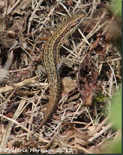 6-lizard