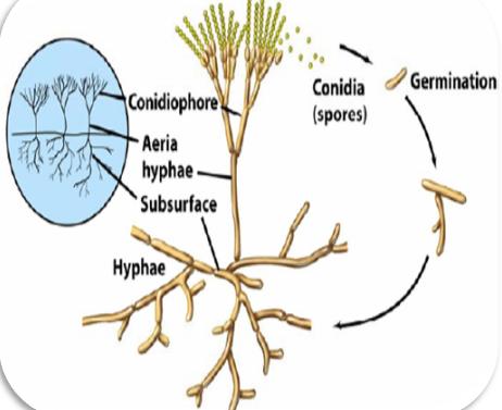 conidia formation