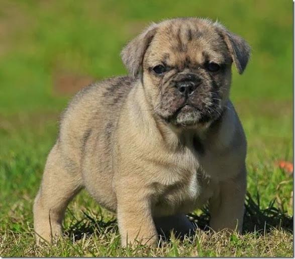 strange-dog-cross-breeds-017