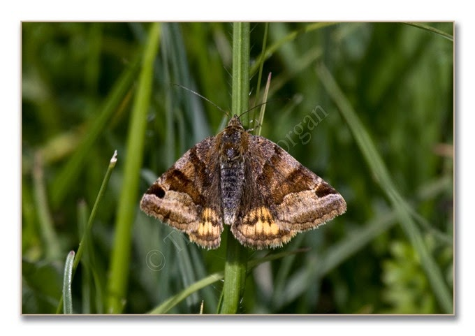 Day Moth 13  Burnet Companion