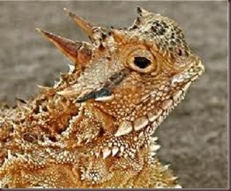 Amazing Pictures of Animals, photo, Nature, exotic, funny, incredibel Zoo, Horned lizard, Phrynosoma, Reptilia, Alex (25)