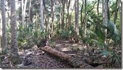 Trail through palm hammock