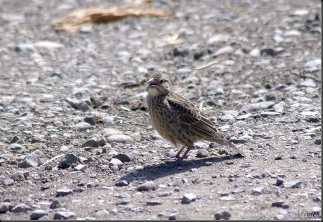 Juvenile Cowbird on the road