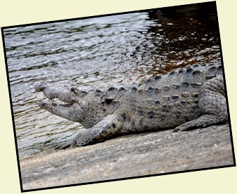 4b - Crocodile