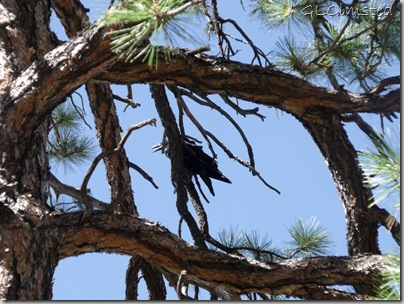 12 Raven in ponderosa pine along Cape Final trail NR GRCA NP AZ (1024x768)
