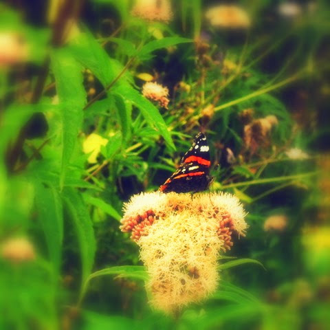 red admiral butterfly on great meadow rue