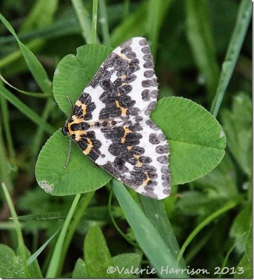 45-magpie-moth