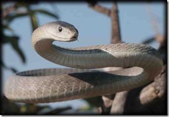Black Mamba snake image