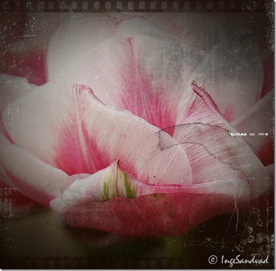 redigeret antik#6 fyldt tulipan