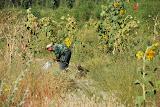 Hami - Entretien des champs de melon