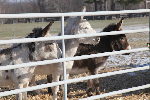 The donkeys are mesmerized!