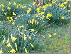 birthday-flower-daffs