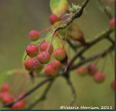 7-wild-cherry