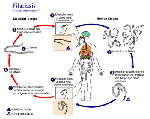 Siklus cacing filaria