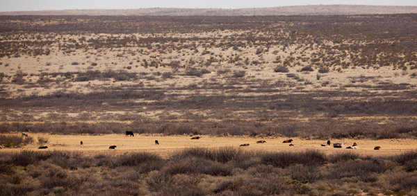 Livestock along the dry Pecos River near Carlsbad, New Mexico. Amid the worst drought on record, the anger of southeastern New Mexico's farmers and ranchers is boiling. Photo: Ivan Pierre Aguirre / The New York Times