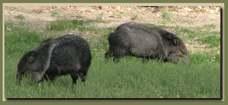 A peccary pair
