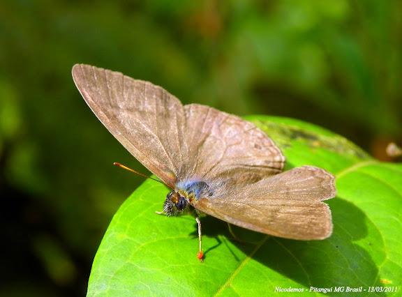 Paryphthimoides poltys (PRITTWITZ, 1865). Un acarien (Thrombidiidae ou Erythraeidae) rouge est fixé sur la patte antérieure gauche de ce Satyrinae. Pitangui (MG, Brésil), 13 mars 2011. Photo : Nicodemos Rosa