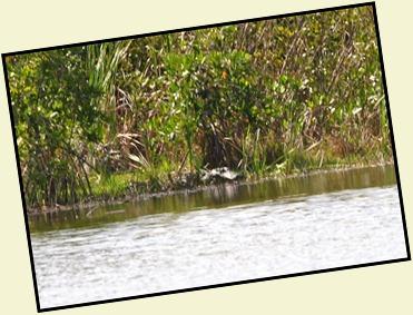 13b - last pond - gator