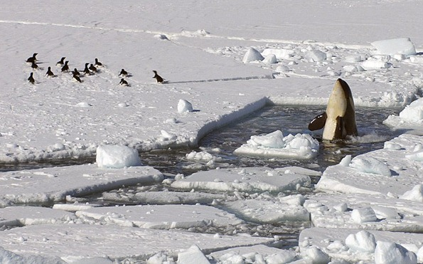 A group of penguins appear to be startled by the sudden emergence of an orca spyhopping through the broken ice