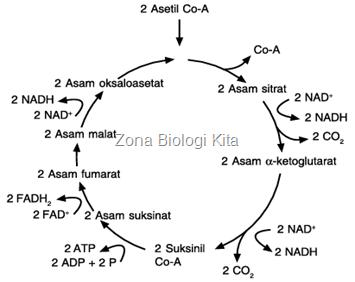 Siklus Krebs-zona biologi kita