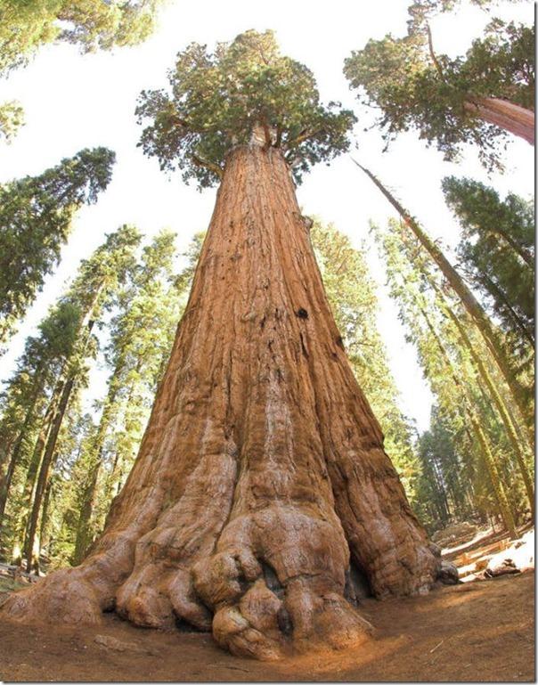 imagens das sequois do Parque Nacional Redwood (10)