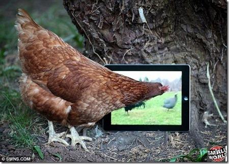 ipad-galinha-3